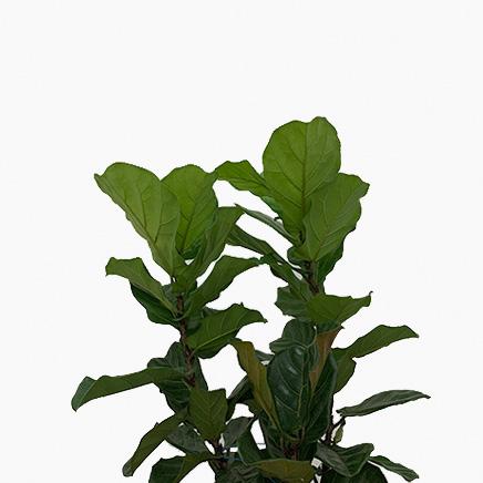 Ficus Lyrata (3 Stems)