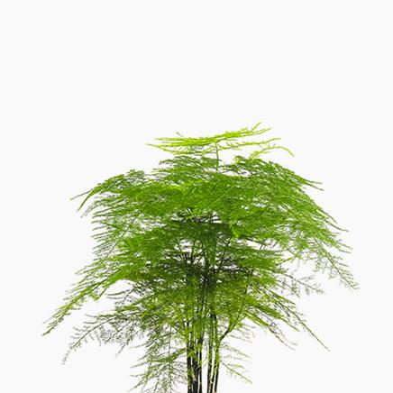 Asparagus Fern, Asparagus Setaceus