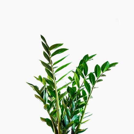 Zamioculcas Zamiifolia (medium)