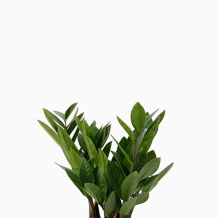 Zamioculcas Zamiifolia (small)