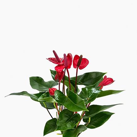 Anthurium Andraeanum (Red)