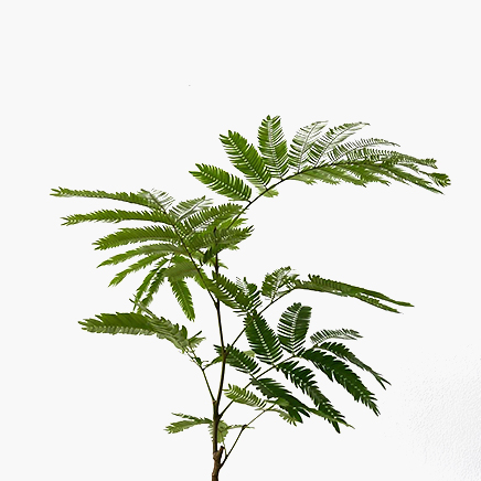 Pithecellobium Confertum (Everfresh Tree) Japan