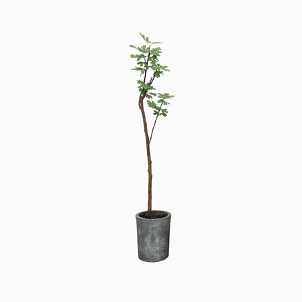 Ficus Carica in Grey II