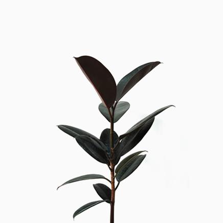 Ficus Elastica, Rubber Plant (medium)