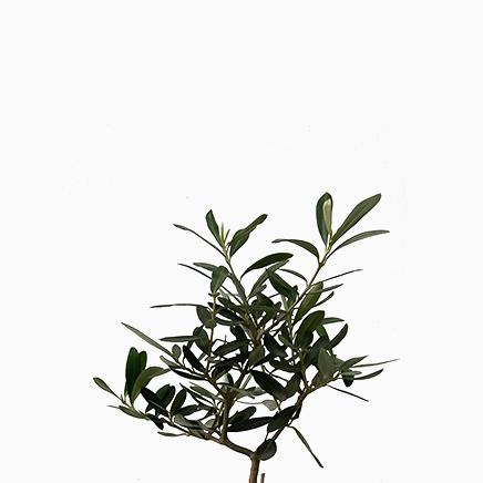 Olea Europaea (Olive Tree)