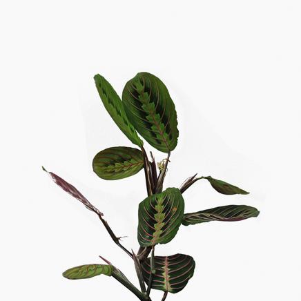 Calathea Maranta