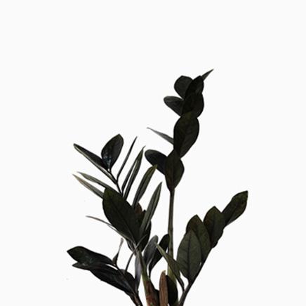 Zamioculcas Zamiifolia Raven (medium)