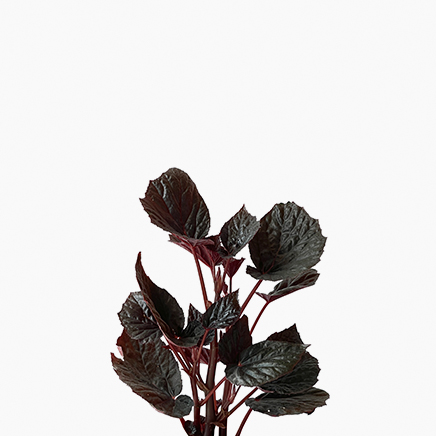 Begonias Rex 'Black Magic'