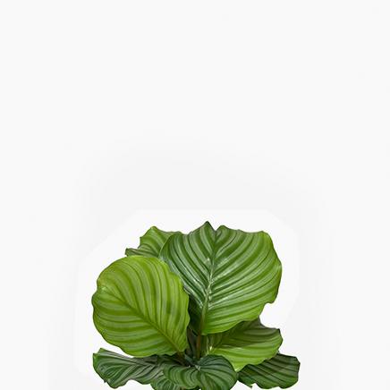 Calathea Orbifolia (small)