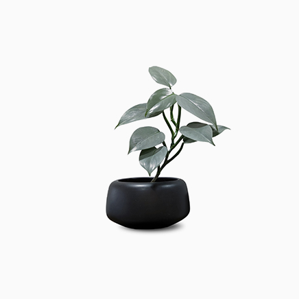 Philodendron Hastatum In Orb Black