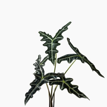 Alocasia Sanderiana, Nobilis