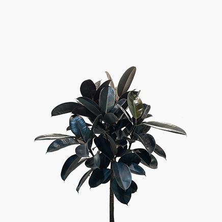 Ficus Elastica, Rubber Plant (xtra-large)