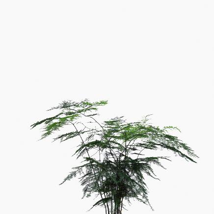 Asparagus Fern, Asparagus Setaceus (medium)