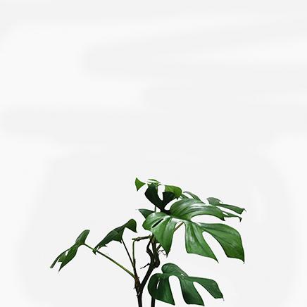 Rhaphidophora Tetrasperma