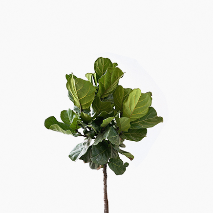Ficus Lyrata (1 Stem)