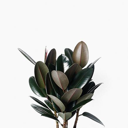 Ficus Elastica, Rubber Plant