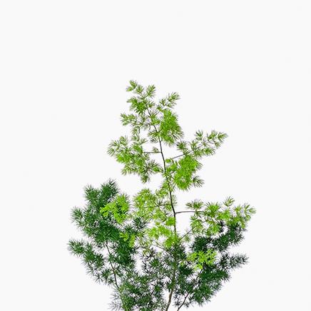 Asparagus Retrofractus, Pom Pom Asparagus