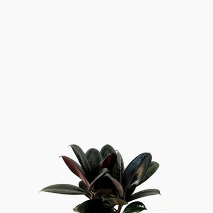 Ficus Elastica, Rubber Plant (S)