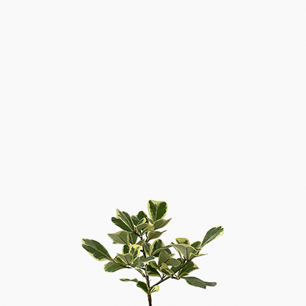 Ficus Triangularis 'Variegata'