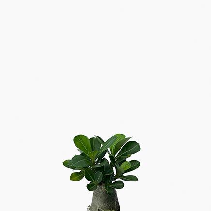 Adenium Obesum, Desert Rose
