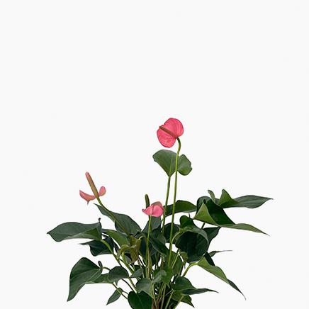 Anthurium Andraenum Pink