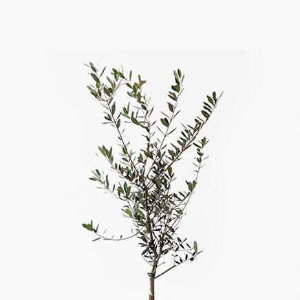 Olea Europaea, Olive Tree, From Japan (1 metre)