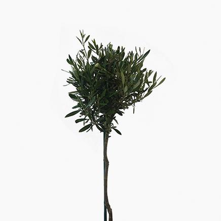 Olea Europaea, Olive Tree (1 metre)