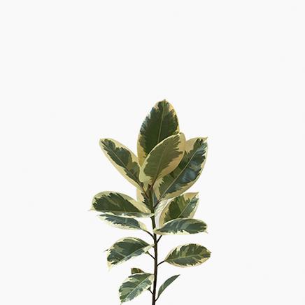 Ficus Elastica Tineka (M)