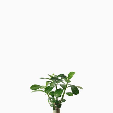 Adenium, Desert Rose (Type 02)