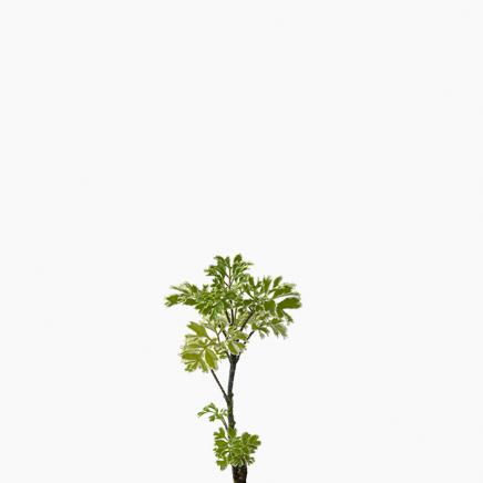 Ming Aralia, Polyscias fruticosa (XS)