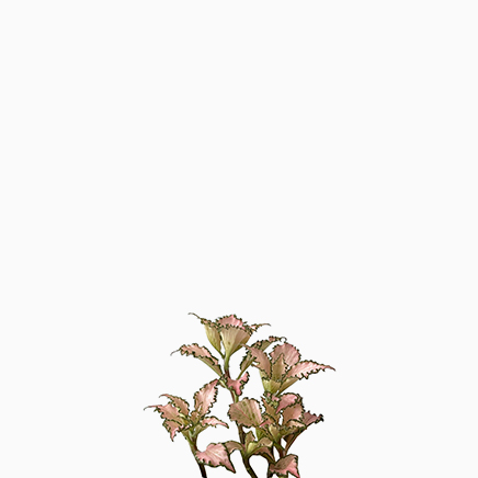fittonia Pink Star