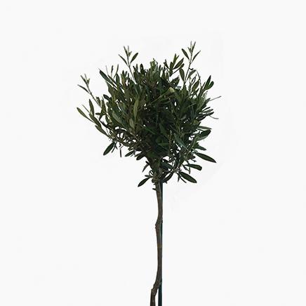 Olea Europaea, Olive Tree (1.6 metre)