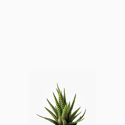 Haworthia Fasciata (Green or Dark Green)