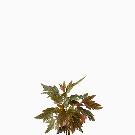 Begonia 'Sierra Gentle Rain