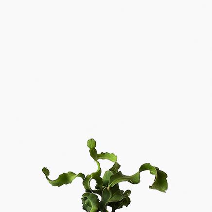 Orchid Cactus Curly Sue