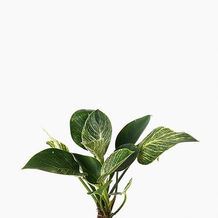 Philodendron Birkin (M)