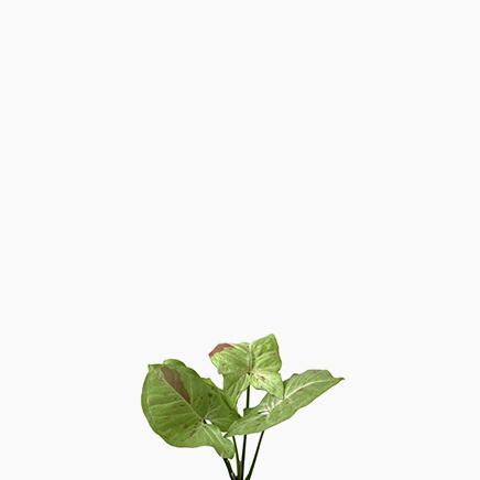 Syngonium Podophyllum 'Milk Confetti'