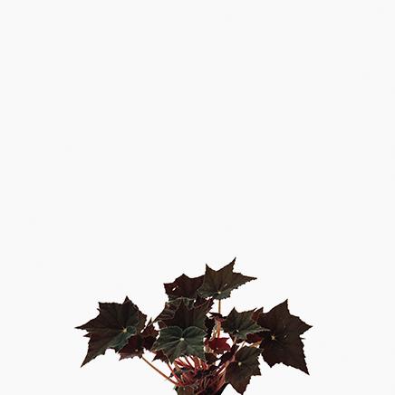 Begonia 'Bethlehem Star'