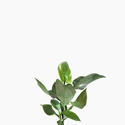 Philodendron Hastatum (M)