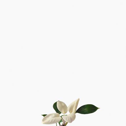 Philodendron White Congo