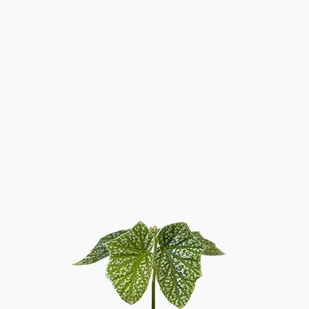 Begonia Snow Cap